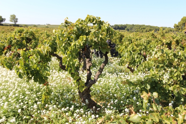 What do 100 year-old Grenache vines look like at harvest time?